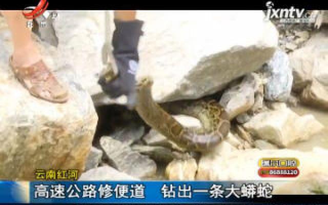 云南红河:高速公路修便道 钻出一条大蟒蛇