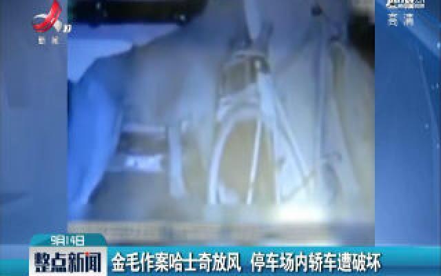 广东韶关:金毛作案哈士奇放风 停车场内轿车遭破坏