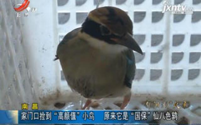 """南昌:家门口捡到""""高颜值""""小鸟 原来它是""""国保""""仙八色鸫"""