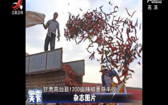 甘肃高台千亩辣椒获丰收 堆积如山红似火