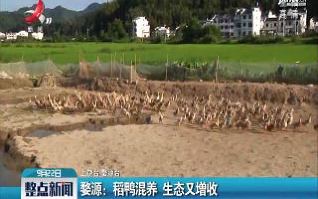 婺源:稻鸭混养 生态又增收