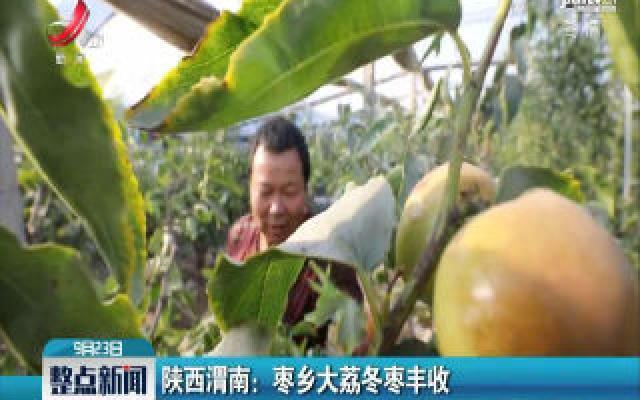 陕西渭南:枣乡大荔冬枣丰收