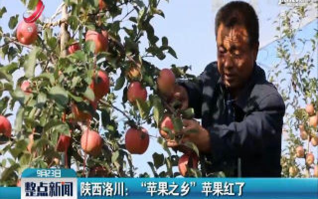 """陕西洛川:""""苹果之乡""""苹果红了"""