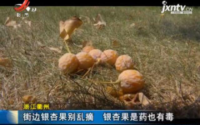 浙江衢州:街边银杏果别乱摘 银杏果是药也有毒
