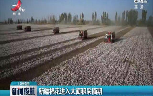 新疆棉花进入大面积采摘期