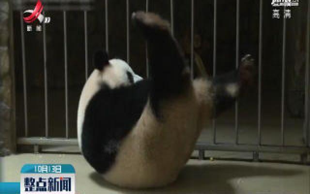 """四川成都:大熊猫""""小丫头""""成功产下一对双胞胎"""