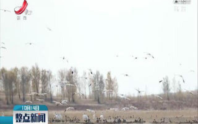 2300余只白鹤飞抵吉林莫莫格湿地