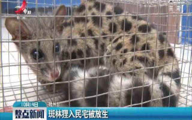 信丰:斑林狸入民宅被放生