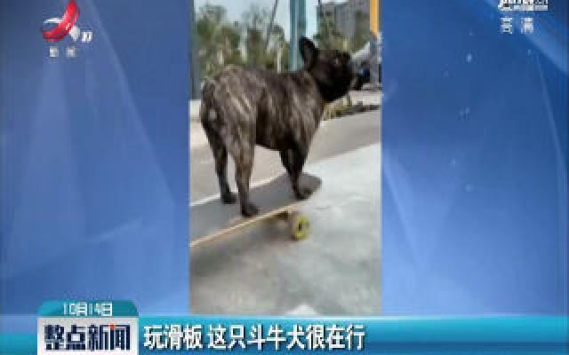 河南:玩滑板 这只斗牛犬很在行