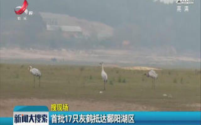 首批17只灰鹤抵达鄱阳湖区