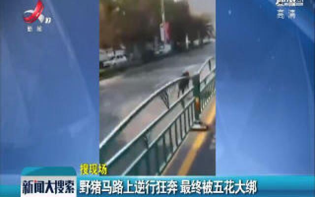 安徽滁州:野猪马路上逆行狂奔 最终被五花大绑