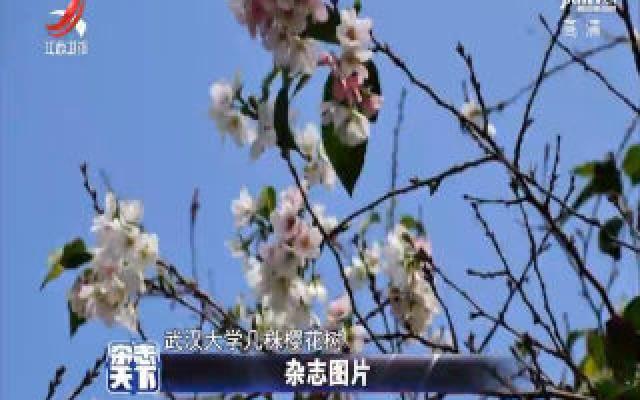 受持续暖秋天气影响 武汉大学樱花再次绽放