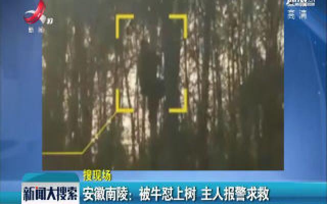 安徽南陵:被牛怼上树 主人报警求救