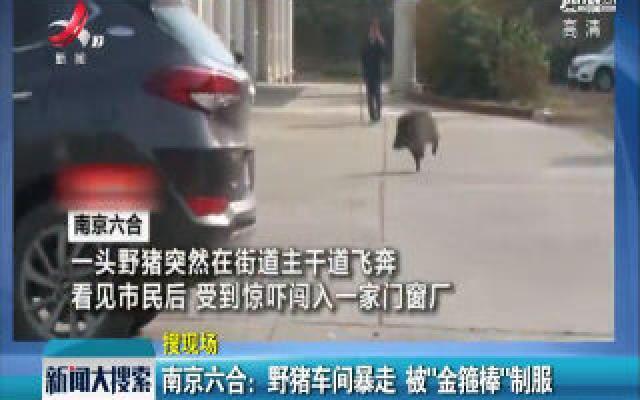 """南京六合:野猪车间暴走 被""""金箍棒""""制服"""