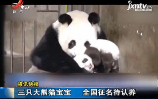 三只大熊猫宝宝 全国征名待认养