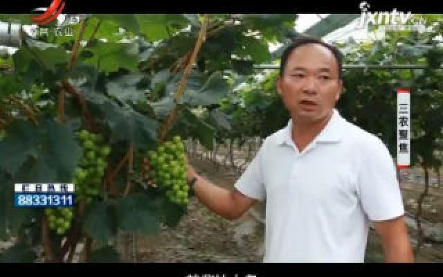 三农聚焦20191030 精品葡萄