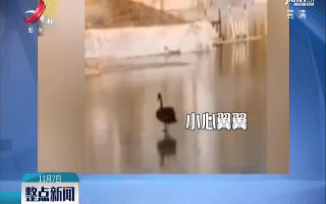 哈尔滨:湖面结冰冻住天鹅