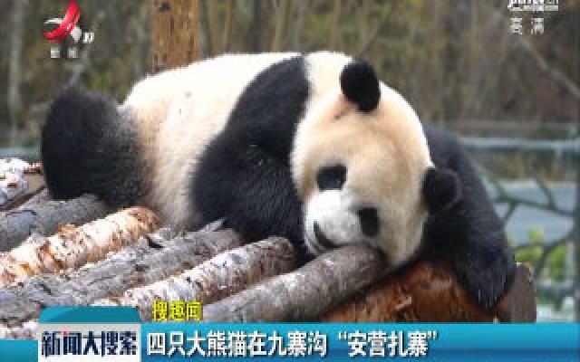 """四只大熊猫在九寨沟""""安营扎寨"""""""