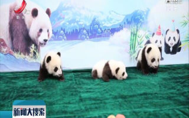 三只新生秦岭大熊猫征名结果出炉