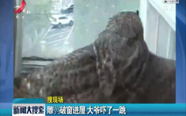 辽宁沈阳:雕鸮破窗进屋 大爷吓了一跳