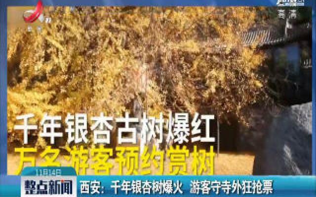 西安:千年银杏树爆火 游客守寺外狂抢票
