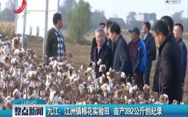 九江:江洲镇棉花实验田 亩产392公斤创纪录