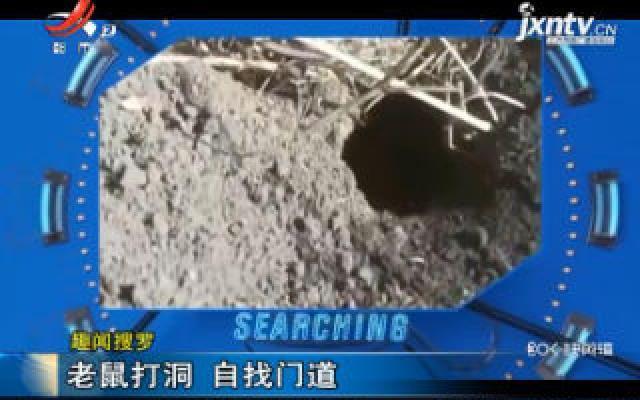 【趣闻搜罗】青海:老鼠打洞 自找门道