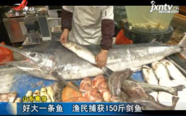 山东青岛:好大一条鱼 渔民捕获150斤剑鱼