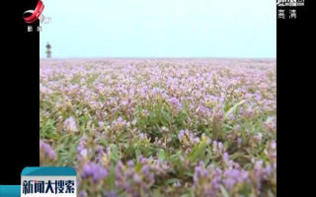 鄱阳:湿地红花灿如霞