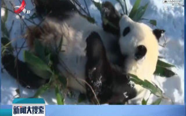 辽宁沈阳:看饿了!熊猫见初雪 淡定吃竹