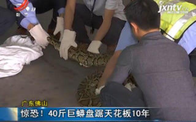 广东佛山:惊恐! 40斤巨蟒盘踞天花板10年