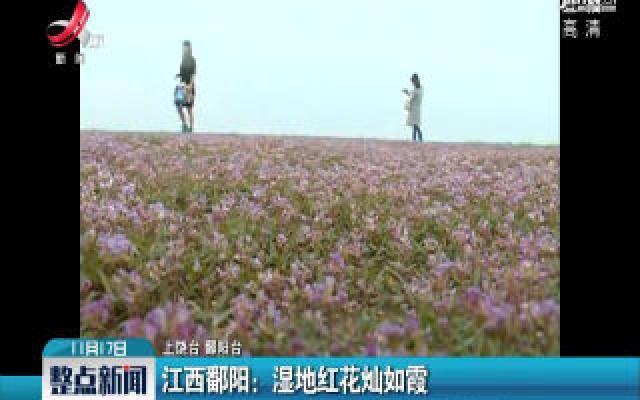 江西鄱阳:湿地红花灿如霞