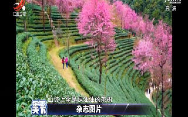 云南:人间冬月芳菲尽 山中樱花始盛开