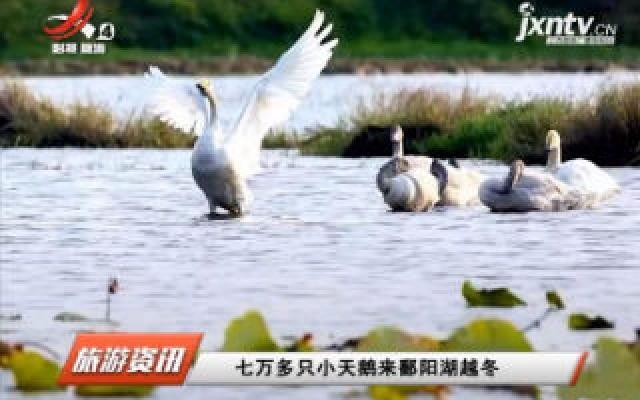 七万多只小天鹅来鄱阳湖越冬
