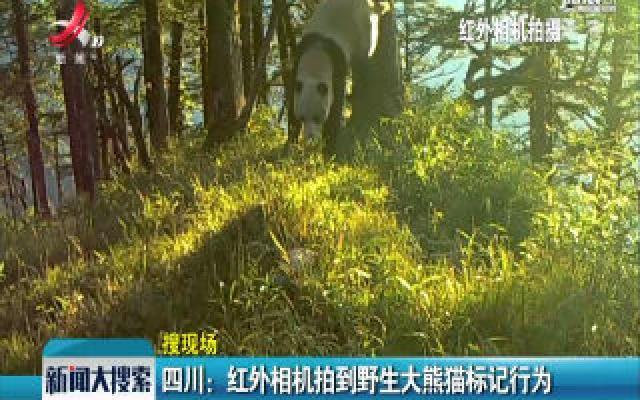 四川:红外相机拍到野生大熊猫标记行为