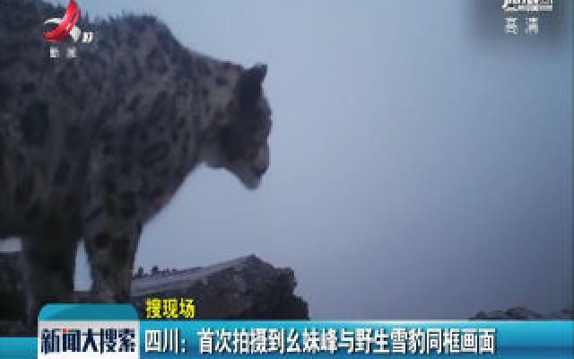 四川:首次拍摄到幺妹峰与野生雪豹同框画面