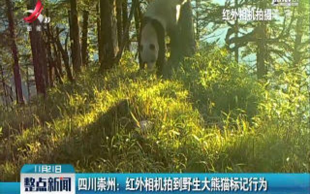 四川崇州:红外相机拍到野生大熊猫标记行为