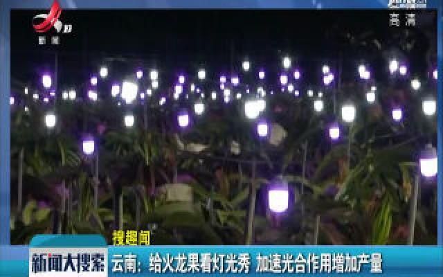 云南:给火龙果看灯光秀 加速光合作用增加产量