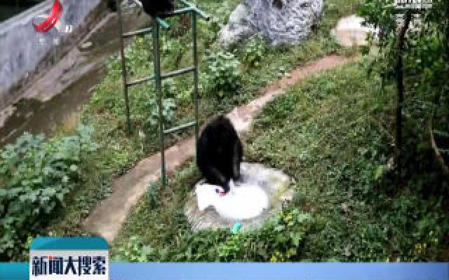 重庆:猩猩洗衣 有模有样