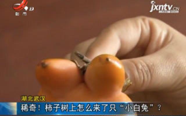 """湖北武汉:稀奇!柿子树上怎么来了只""""小白兔""""?"""