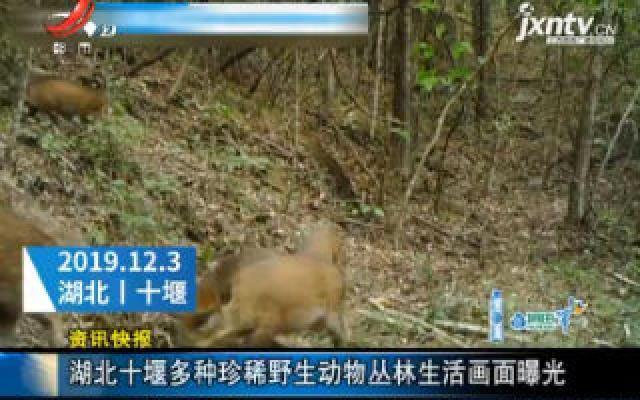 湖北十堰多种珍稀野生动物丛林生活画面曝光