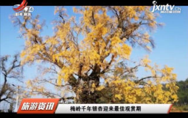 南昌:梅岭千年银杏迎来最佳观赏期