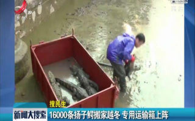 安徽宣城:16000条扬子鳄搬家越冬 专用运输箱上阵