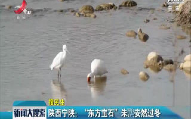 """陕西宁陕:""""东方宝石""""朱鹮安然过冬"""