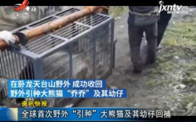 """四川卧龙:全球首次野外""""引种""""大熊猫及其幼仔回捕"""