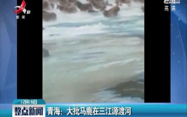 青海:大批马鹿在三江源渡河
