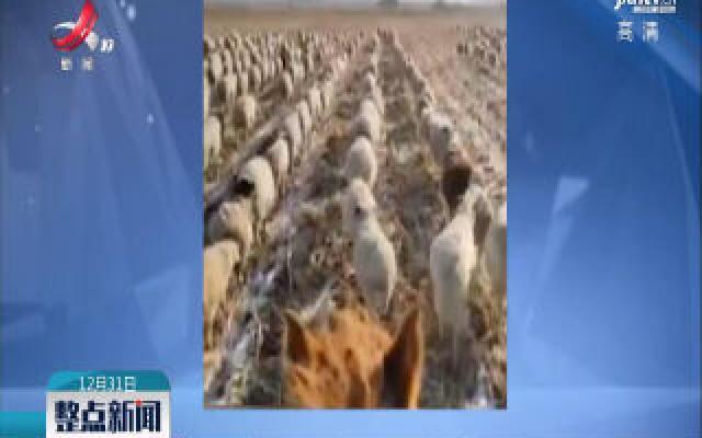 齐齐哈尔:400多只羊 每天列队齐步走回家