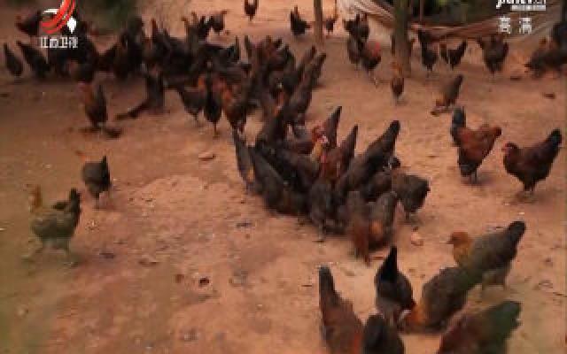 崇仁麻鸡产业产值超20亿元