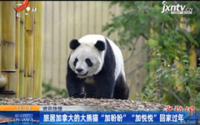 """旅居加拿大的大熊猫""""加盼盼""""""""加悦悦""""回家过年"""