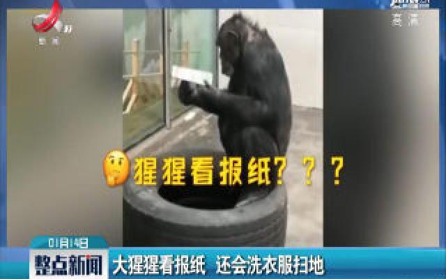 陕西西安:大猩猩看报纸 还会洗衣服扫地